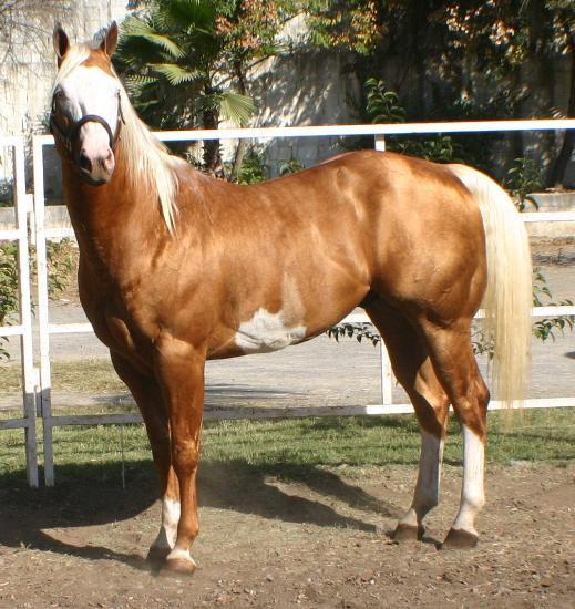 caballo cuarto milla mexico: